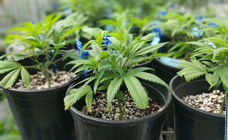 marijuana recommendation garden grove